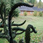 Monkey-puzzle tree at Quill�n