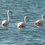 Large flamingoes