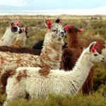 Llamas in the puna