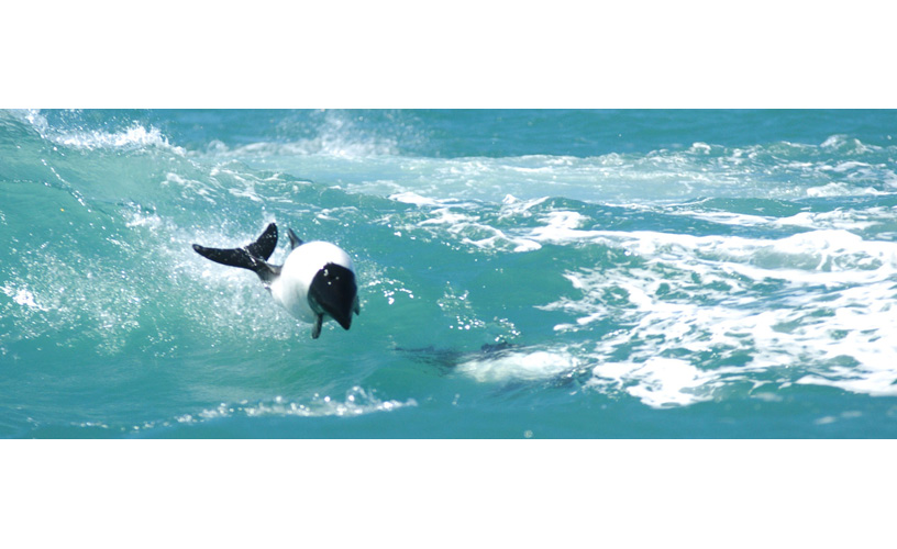 Commerson's dolphins play