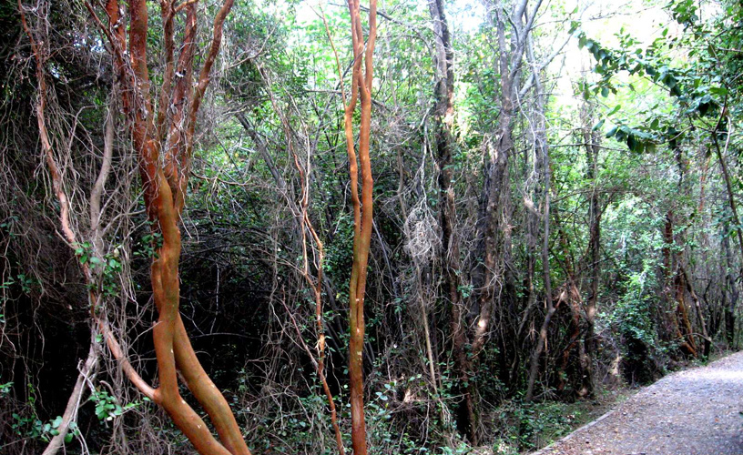 The patagua or pitra forests