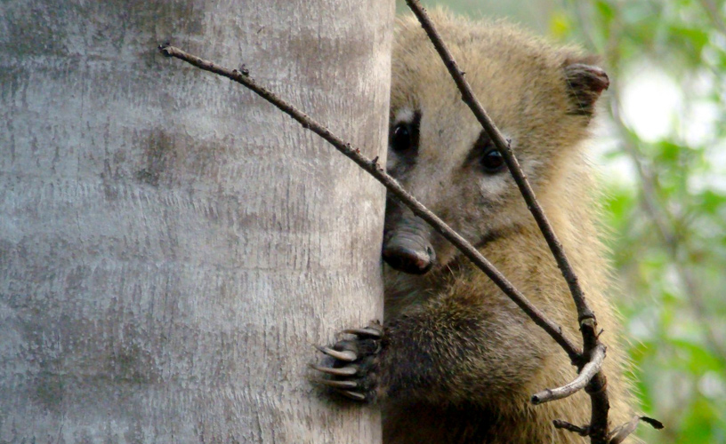Coati - Foto: Matías Carpinetto