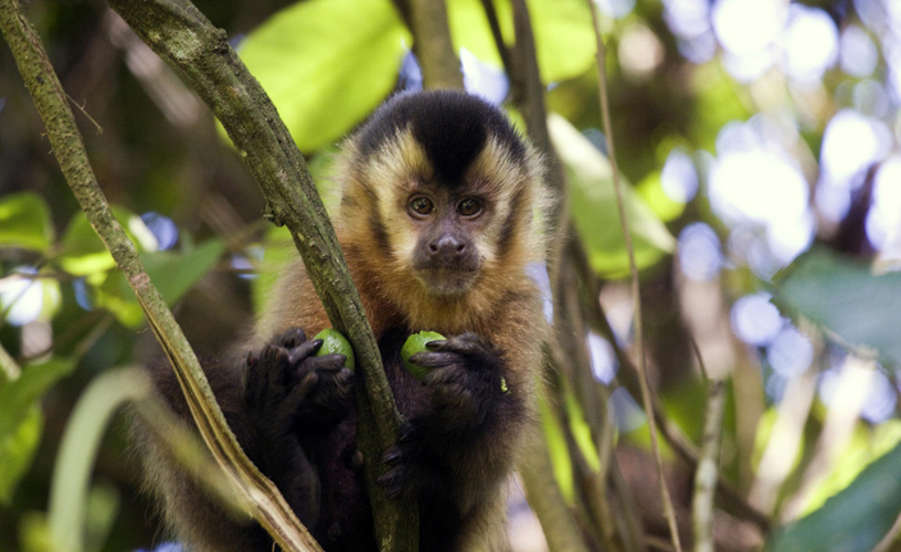 Capuchin monkeys - Photo: Silvina Enrietti