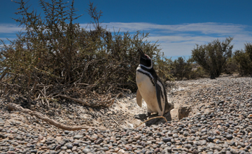 Penguin Colony at Punta Tombo