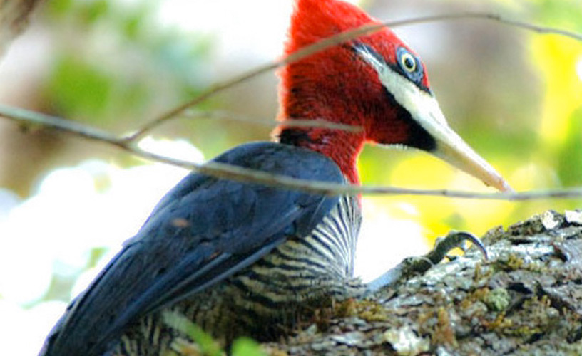 The actual woodpecker