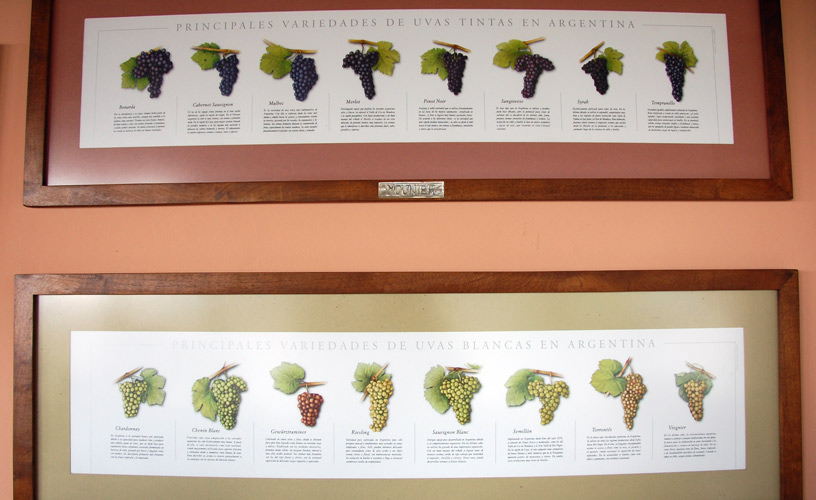 Argentine varieties of grapes