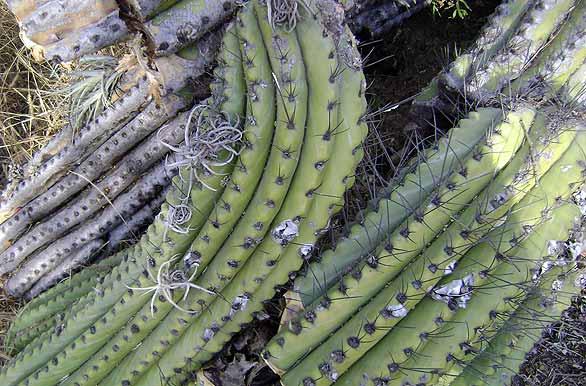 cactus desafiante fotos de santiago del estero archivo