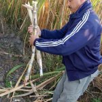Sugar cane from Tucum�n