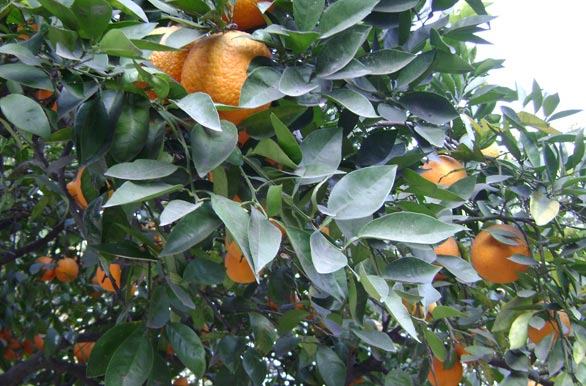 Orange trees in the city - Author: Pablo Etchevers